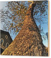 001 Oldest Tree Believed To Be Here In The Q.c. Series Wood Print
