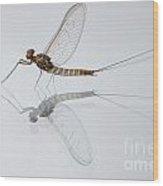 01 Cloeon Mayfly On My Window Wood Print