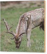 01 Fallow Deer Wood Print