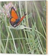 02 Balkan Copper Butterfly Wood Print