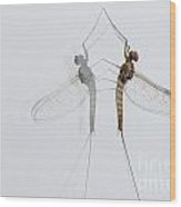 02 Cloeon Mayfly On My Window Wood Print