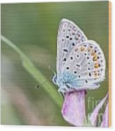 02 Common Blue Butterfly Wood Print
