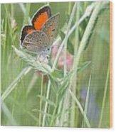 03 Balkan Copper Butterfly Wood Print