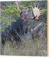 0339 Bull Moose 3 Wood Print