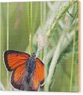 07 Balkan Copper Butterfly Wood Print