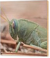 08 Egyptian Locust Grasshopper Wood Print