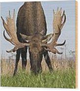A Large Bull Moose Feeds Near Point Wood Print