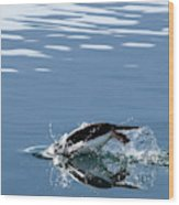 A Penguin Swims Through The Clear Wood Print