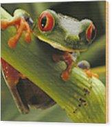 A Red-eyed Tree Frog Agalychnis Wood Print