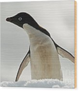 Adelie Penguin Wood Print
