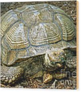 African Spurred Tortoise Wood Print