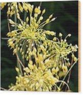 Allium Flavum Or Fireworks Allium Wood Print