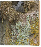 American Dipper In Nest   #1468 Wood Print
