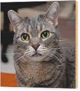 American Shorthair Cat Portrait Wood Print