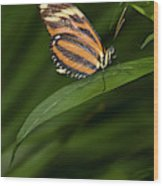 An Isabella Butterfly Eueides Isabella Wood Print