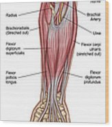 Anatomy Of Forearm Muscles, Anterior Wood Print