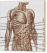 Anatomy Of Human Abdominal Muscles Wood Print