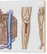 Anatomy Of Human Bone Marrow Wood Print