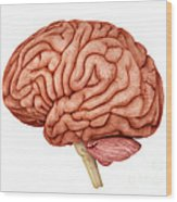 Anatomy Of Human Brain, Side View Wood Print