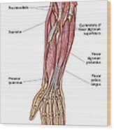 Anatomy Of Human Forearm Muscles, Deep Wood Print
