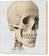 Anatomy Of Human Skull, Side View Wood Print by Leonello Calvetti