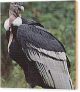 Andean Condor Male Cayambe Ecuador Wood Print