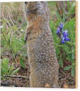 Arctic Ground Squirrel Wood Print