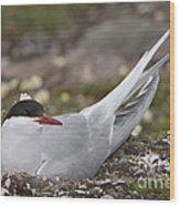 Arctic Tern In Its Nest Wood Print