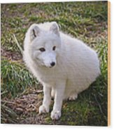 Arctic White Fox Wood Print