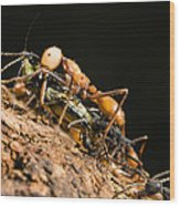 Army Ant Carrying Cricket La Selva Wood Print