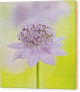 Astrantia 'larch Cottage' Wood Print