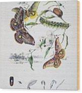 Australian Butterflies Wood Print