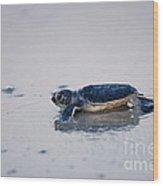 Baby Green Sea Turtle Amelia Island Florida Wood Print
