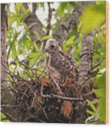 Baby Red Shouldered Hawk Wood Print