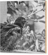 Baby Robin - Revving Up  Wood Print