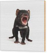 Baby Tasmanian Devil Wood Print by Science Photo Library
