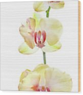 Backlit Orchids Against White Background Wood Print