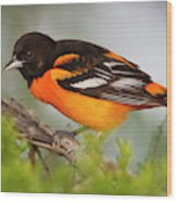 Baltimore Oriole Foraging Wood Print
