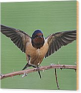 Barn Swallow Wood Print by Angie Vogel