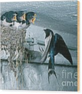 Barn Swallows Wood Print