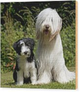 Bearded Collie And Puppy Wood Print