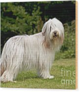 Bearded Collie Dog Wood Print