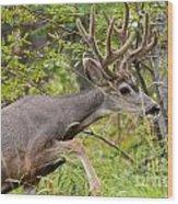 Beautiful Mule Deer Buck With Velvet Antler  Wood Print
