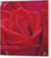 Beautiful Red Rose Close Up Shoot Wood Print