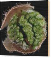 Beech (fagus Sylvatica) Tree Leaf Bud Wood Print