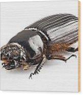 Beetle Aceraius Grandis Wood Print