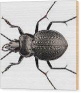 Beetle Species Carabus Coriaceus Wood Print