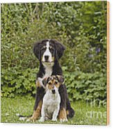 Bernese Mountain & Jack Russell Puppies Wood Print