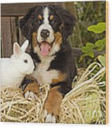 Bernese Mountain Puppy And Rabbit Wood Print