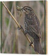 Big Dinner For Female Red Winged Blackbird I Wood Print